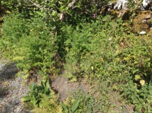 bed of tansy plants under an apple tree