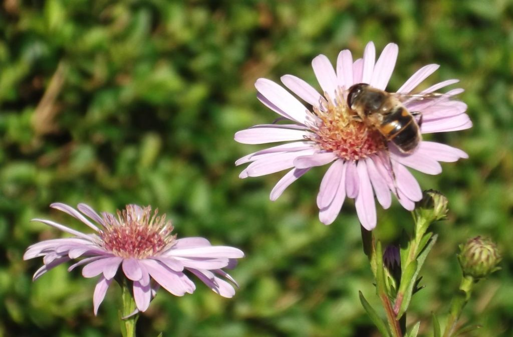 honey bee on michaelmas daisy