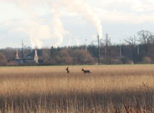 two roe deer does in the long grass