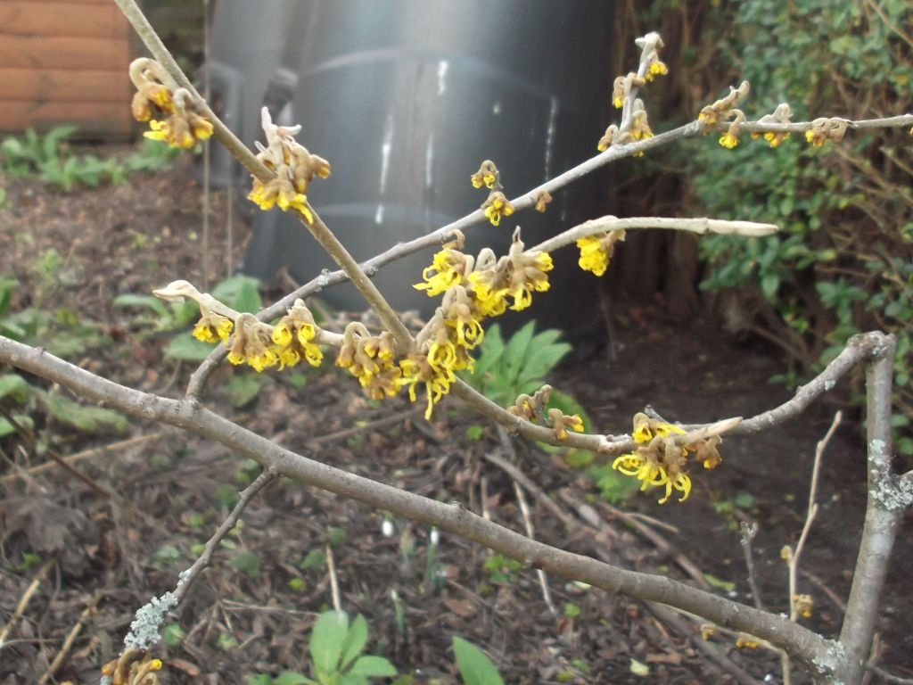 opening buds of witch hazel, very bright gold