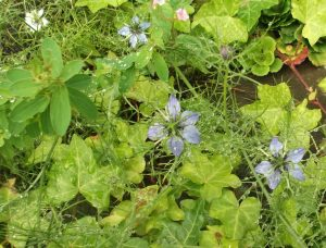 nigella flowers and ivy leaves, all wet with dew