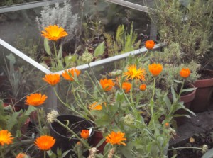 Marigolds by the cold frame