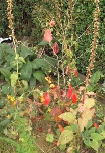 witch hazel autumn