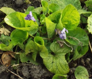 violet, two blooms