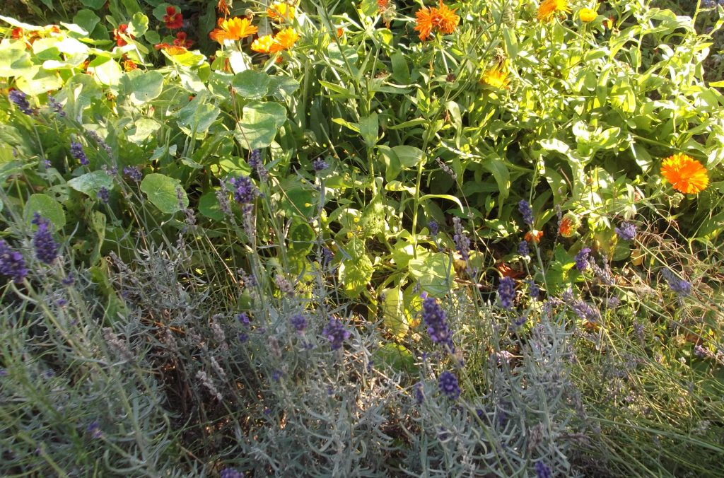 nasturtiums, marigolds and lavender
