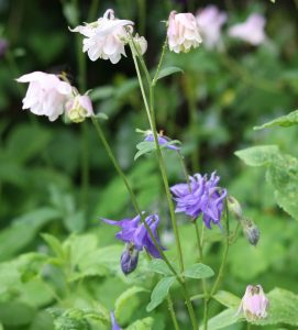 pale pink and deep blue aquilegias