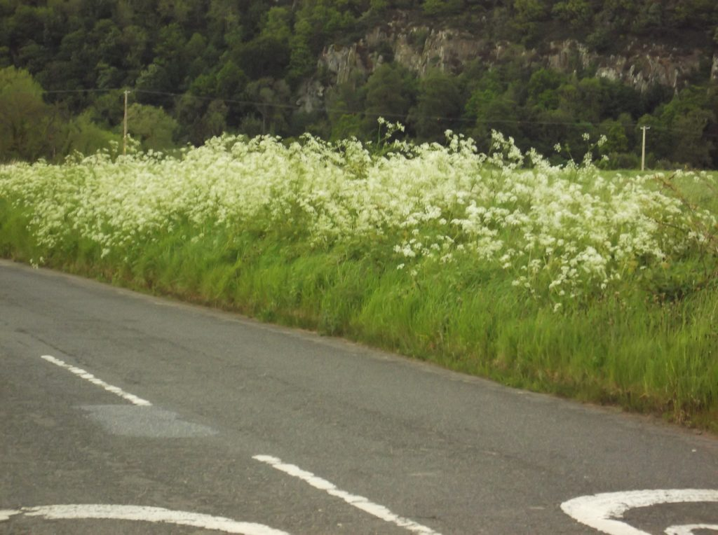 verge with cow parsley