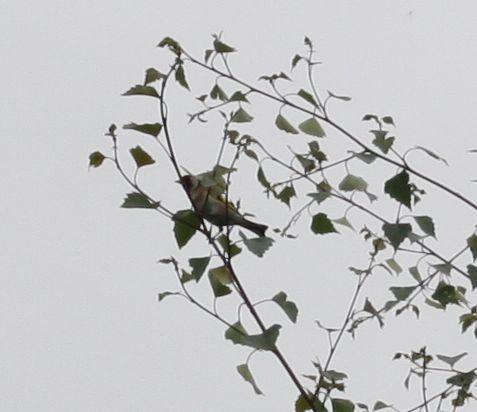 goldfinch in a birch tree