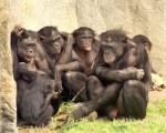 6_bonobos_whcalvin_img_1341