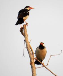 Asian Pied Starling Bardia NP