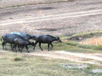Buffalo with the usual Cattle Egrets not far behind