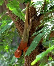 Garden Lizard turns red when in breeding