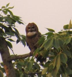 Mottled Wood Owl 1