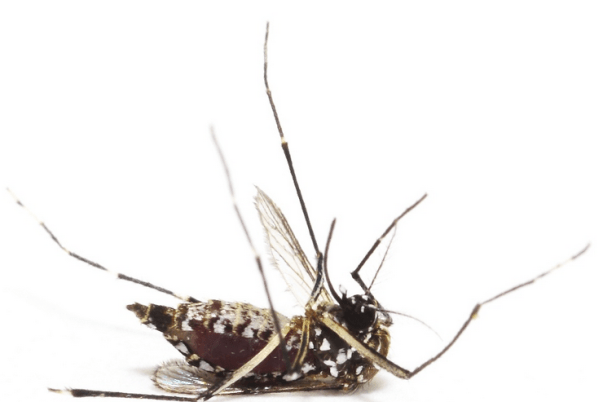 Dead mosquito that tried to drink Bushwickian's blood