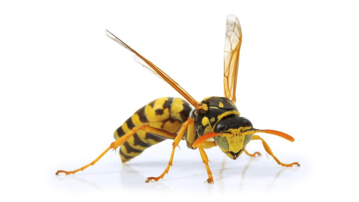 Yellow jackey wasp.