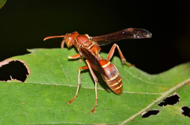 Arizona Paper Wasp.