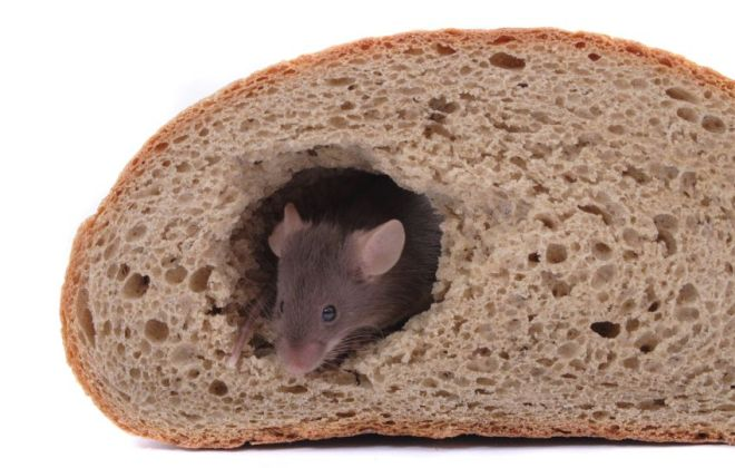 Mouse in a loaf of bread.