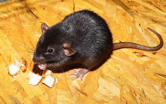Norway rat eating food.