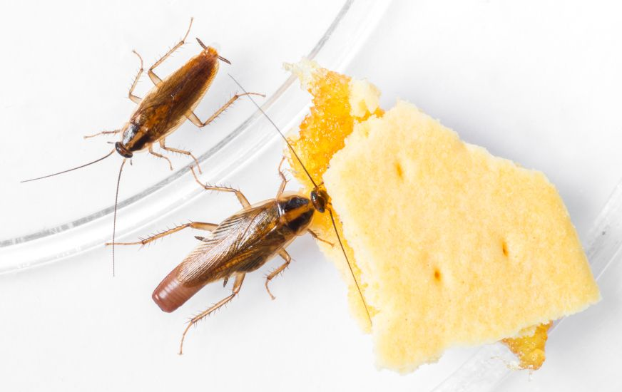 Roaches eating crackers.