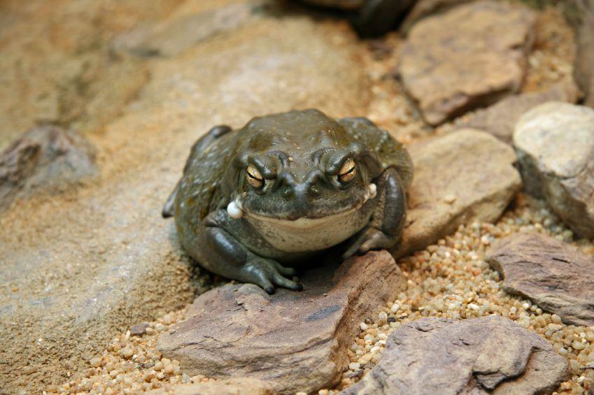 Sonoran Desert Toad.