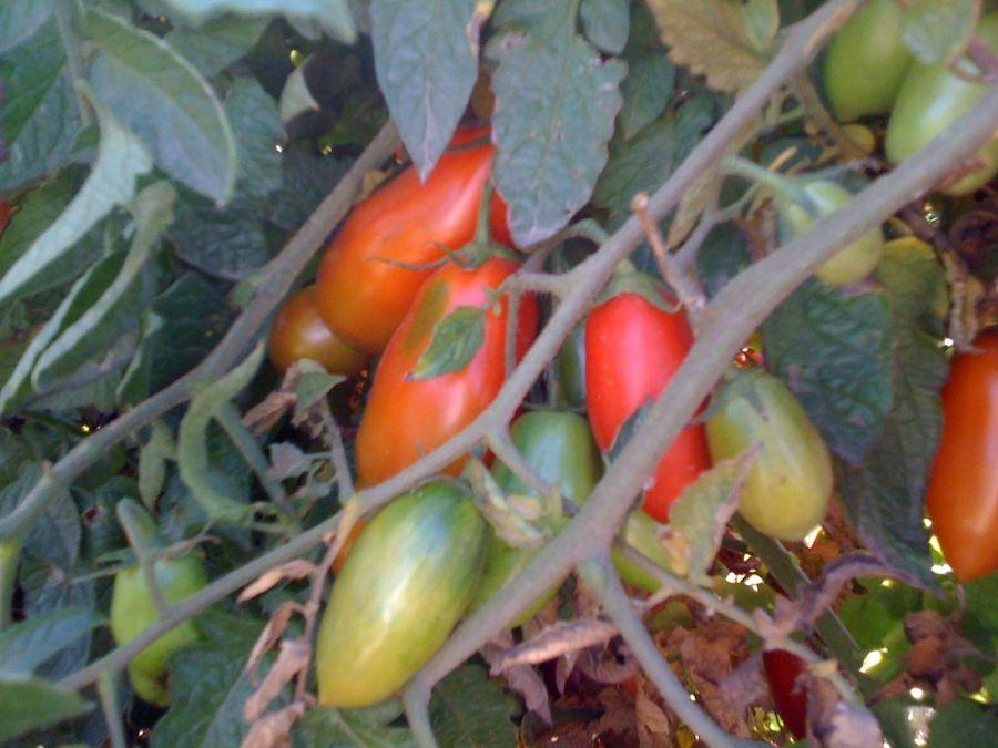 San Marzano tomatoes on the vine.