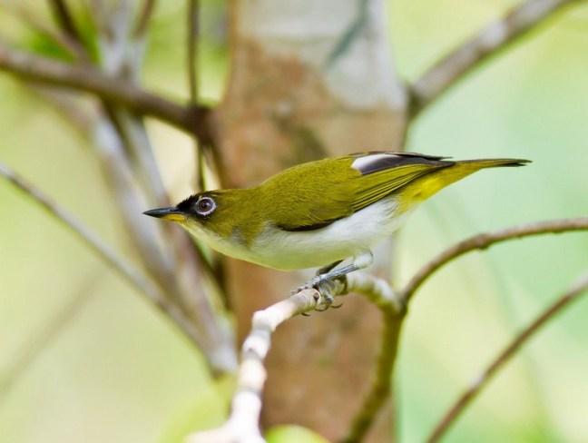 Burung Pleci Salvadori Enggano (junglekey.in)