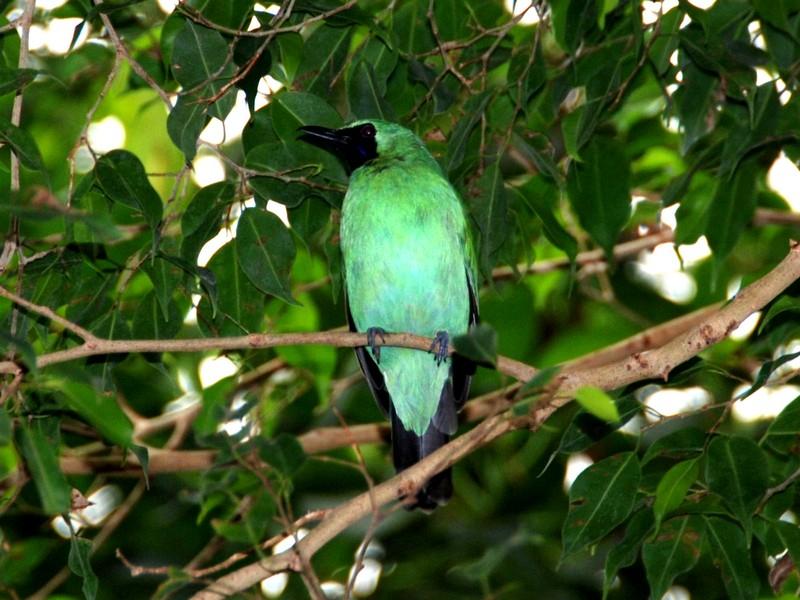 Burung Cucak Ijo Banyuwangi (theonlinezoo.com)