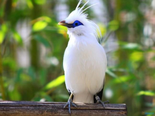 Burung Jalak Bali (astronomy-to-zoology)