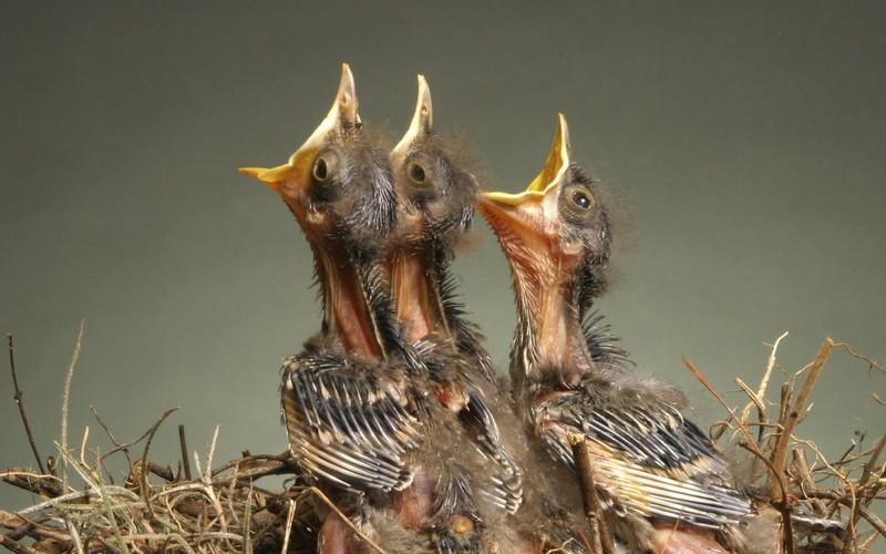 Burung Jalak Suren Anakan (ohmenergetics.com)