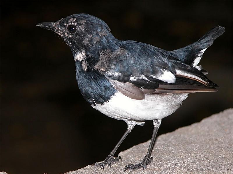 Burung Kacer Blorok (nagpurbirds.org)