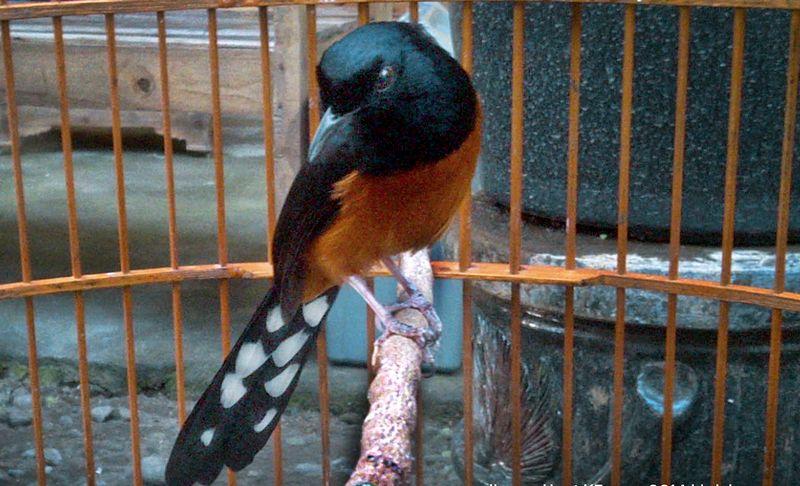 Burung Murai Batu Balak (oxibird.blogspot.com)