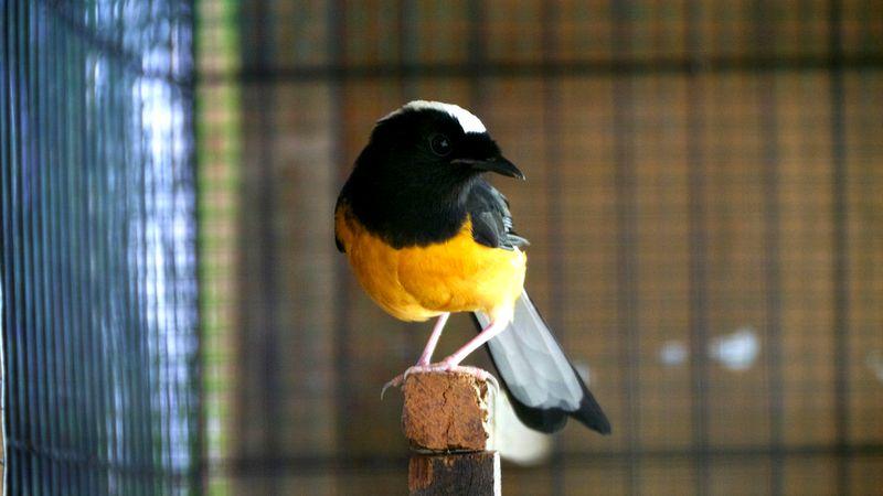 Burung Murai Batu Filipina (hiveminer.com)