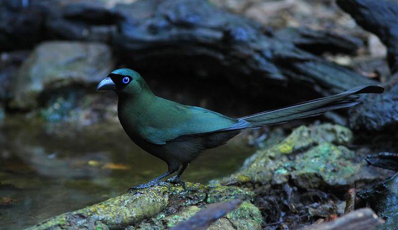 Burung Murai Batu Irian (pagiberkicau.com)