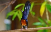 Burung Murai Batu (rumped5.rssing.com)