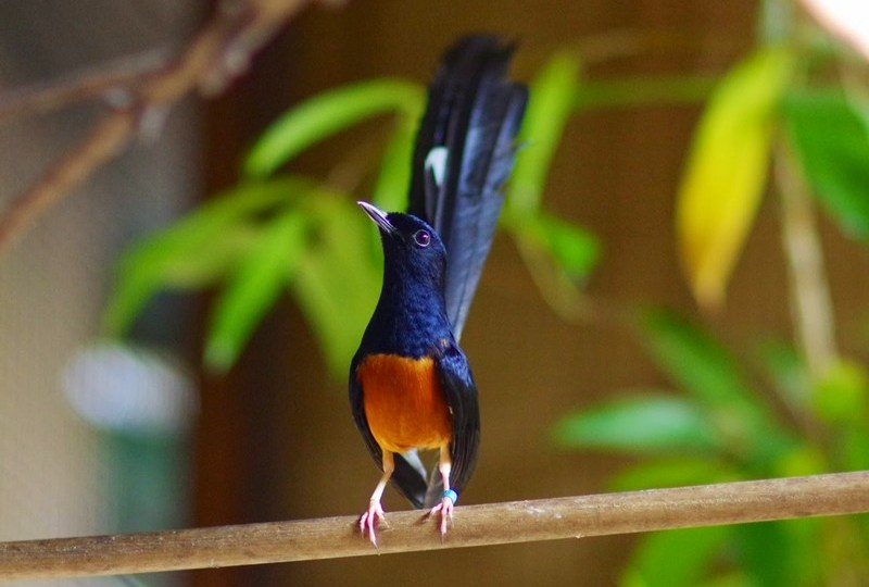 Perawatan Burung Murai Batu yang Sakit Lengkap dengan Cara Penyembuhannya