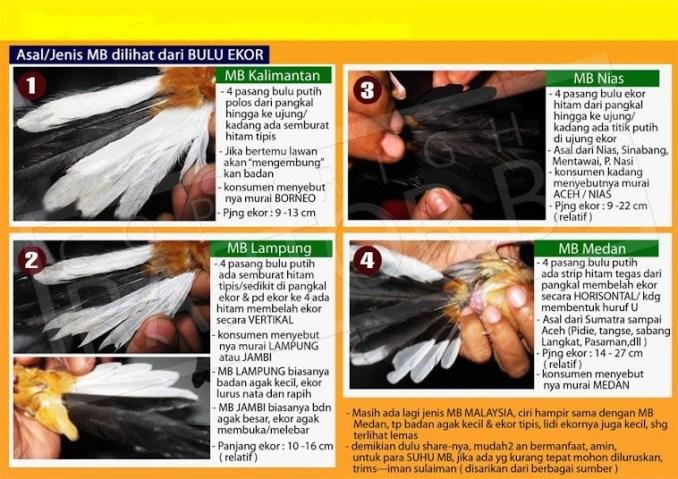 Jenis bulu ekor burung Murai Batu (Penangkarburung)