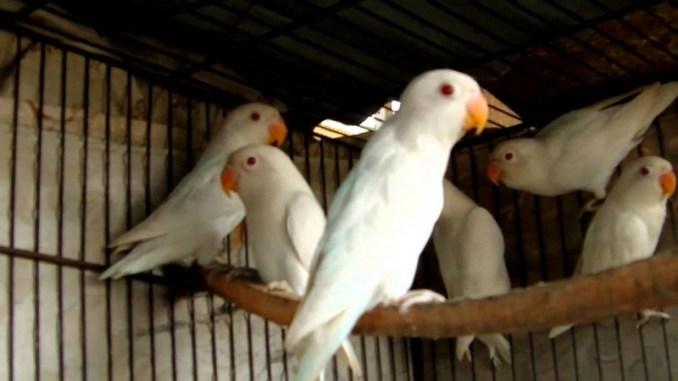 Lovebird Albino (youtube)