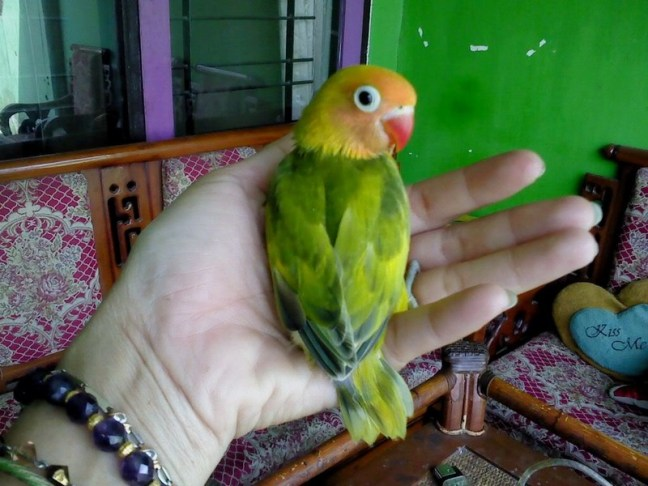 Lovebird Blorok (ceriwis)