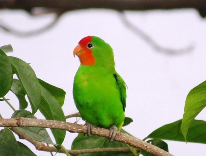 Lovebird Muka Merah (mucumbli)