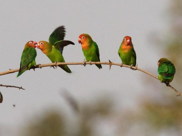 Lovebird Nyasa (hbw)