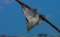 Menangkap burung (www.birdlife.org)