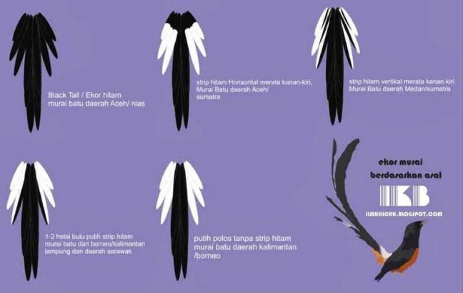 Perbedaan bulu ekor burung Murai Batu (burunghobi.com)
