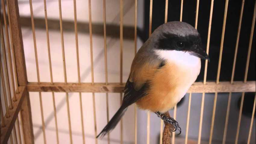 Anakan Burung Cendet Kepala Blangkon (1080.plus)