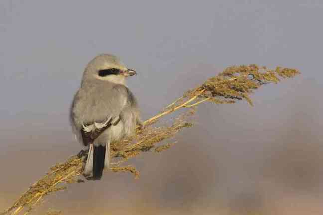 Chinese grey shrike, Lanius sphenocercus (birdingbeijing.com)