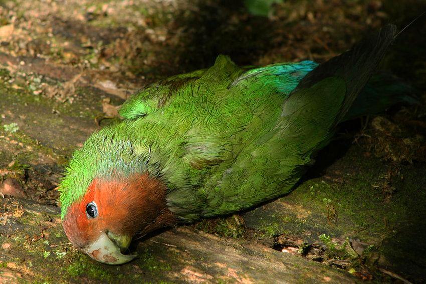 Lovebird mati (organicvision.deviantart.com)