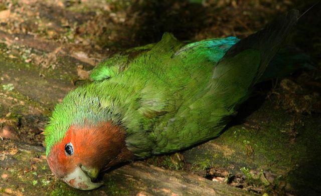 12 Penyakit Lovebird Lengkap dengan Ciri-Ciri dan Penyembuhannya