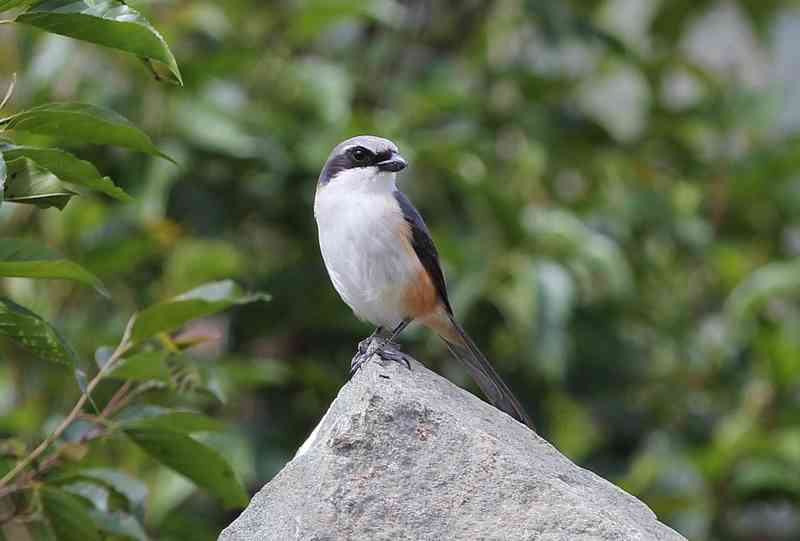 Mountain shrike atau Grey-capped shrike, Lanius validirostris (ebonph.wordpress.com)