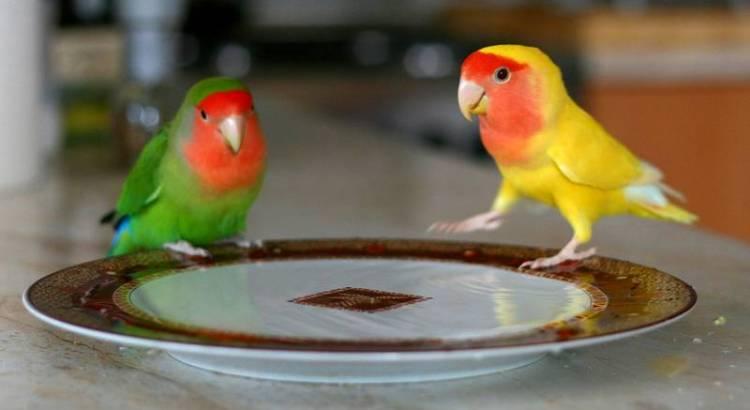 Lovebird (wikiwand.com)
