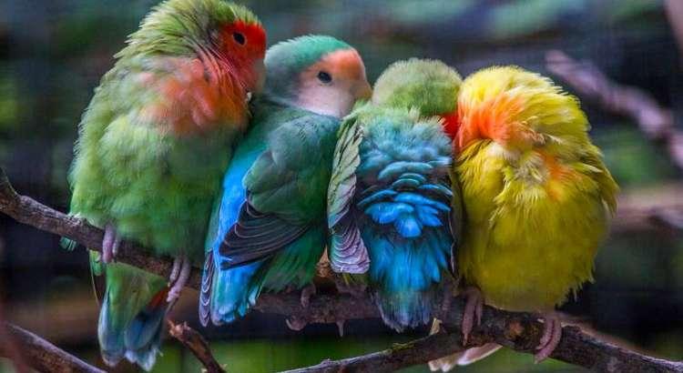 Mutasi Lovebird (Pinterest)