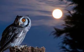 Burung Hantu (siwallpaperhd.com)